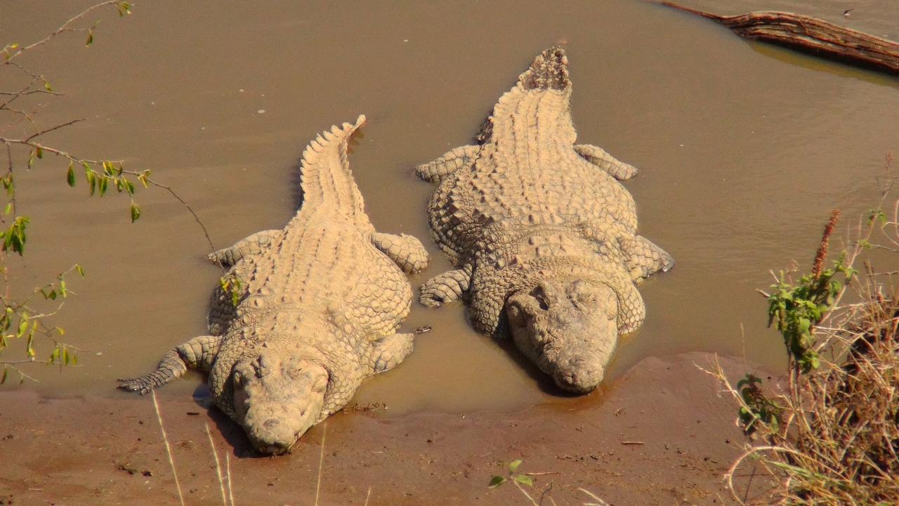 Crocodiles in Africa